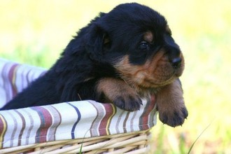 Know your breeds: The Rottweiler