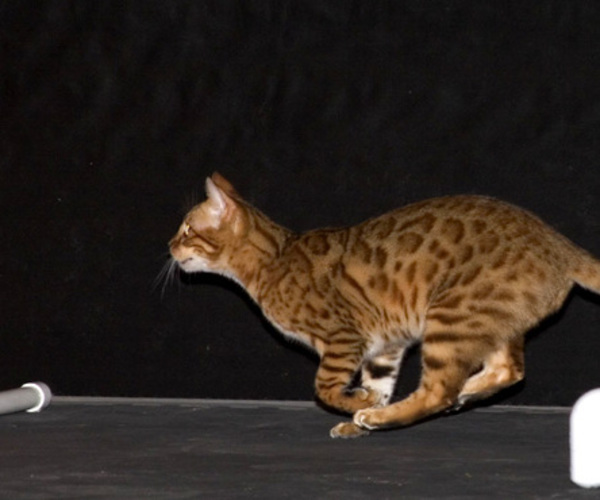 Discover Cat Agility!