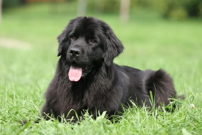 Top Les 10 races de chiens les plus adaptées aux enfants - Yummypets MR89