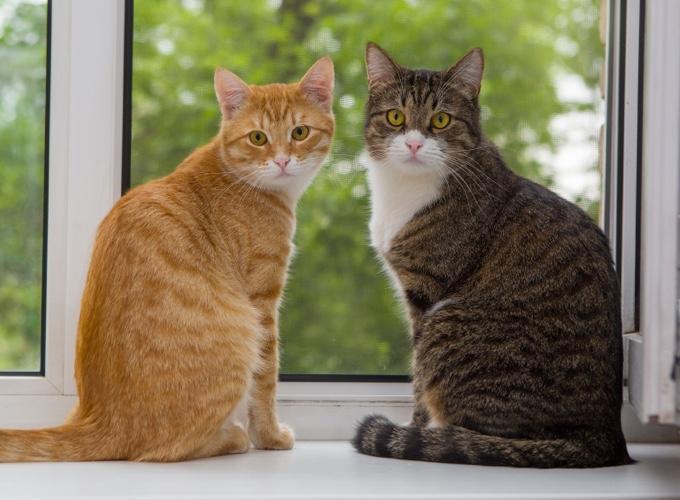 Découvrez les différentes robes des chats tigrés