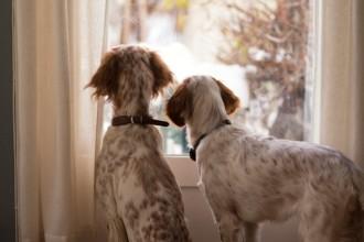 Comment préparer l'arrivée d'un second chien à la maison ?