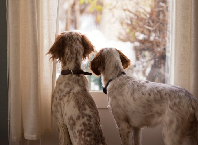 Comment préparer l'arrivée d'un second chien à la maison