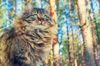 Know your breeds: the Siberian cat