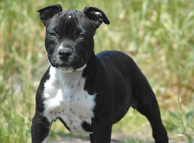 le top 15 des races de chiens les plus dangereuses yummypets. Black Bedroom Furniture Sets. Home Design Ideas