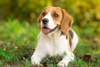 Zoom sur une race : le Beagle