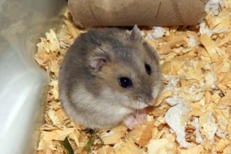 Les troubles respiratoires chez le hamster