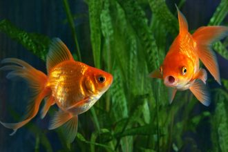 Know your breeds: the goldfish
