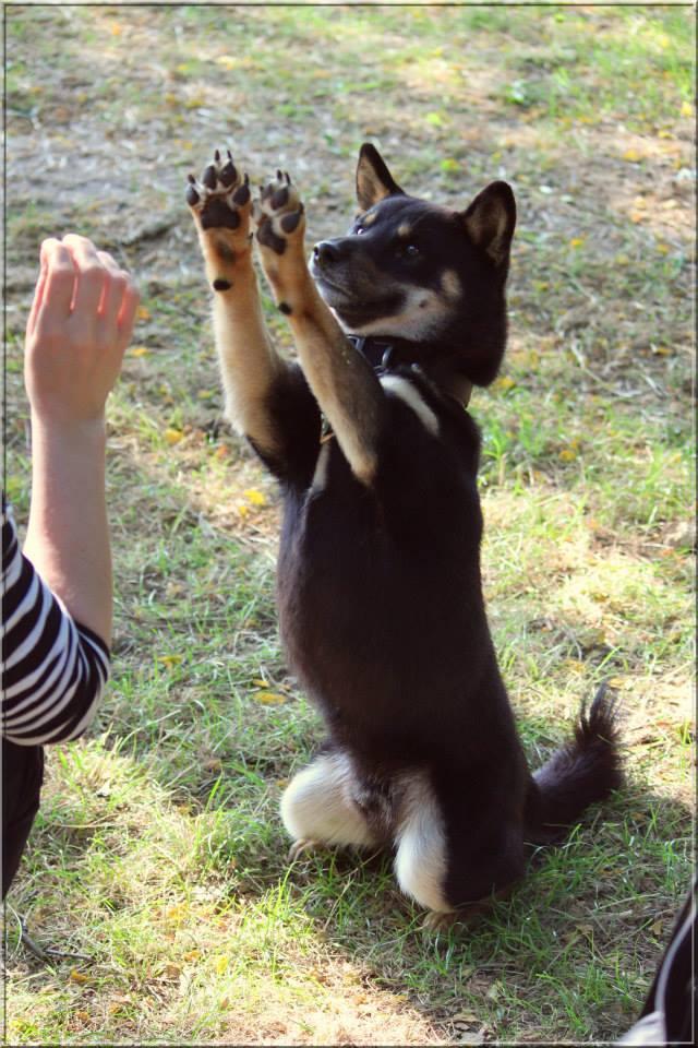 Rencontre avec Shiba CKK Education, une comportementaliste canine