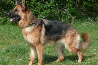 Know your breeds: the German Shepherd