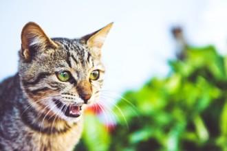 Les maladies dentaires chez le chat : symptômes et soins