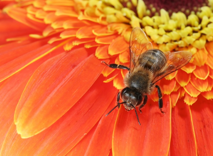 Le chien et les piq res de gu pes et d 39 abeilles yummypets - Soulager une piqure de guepe ...