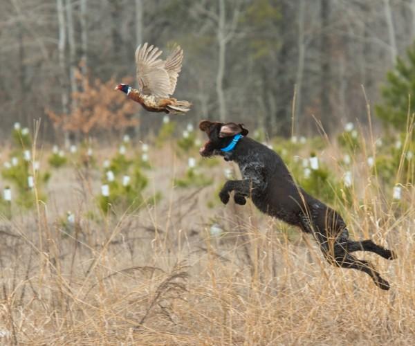 Discipline animalière : le field-trials