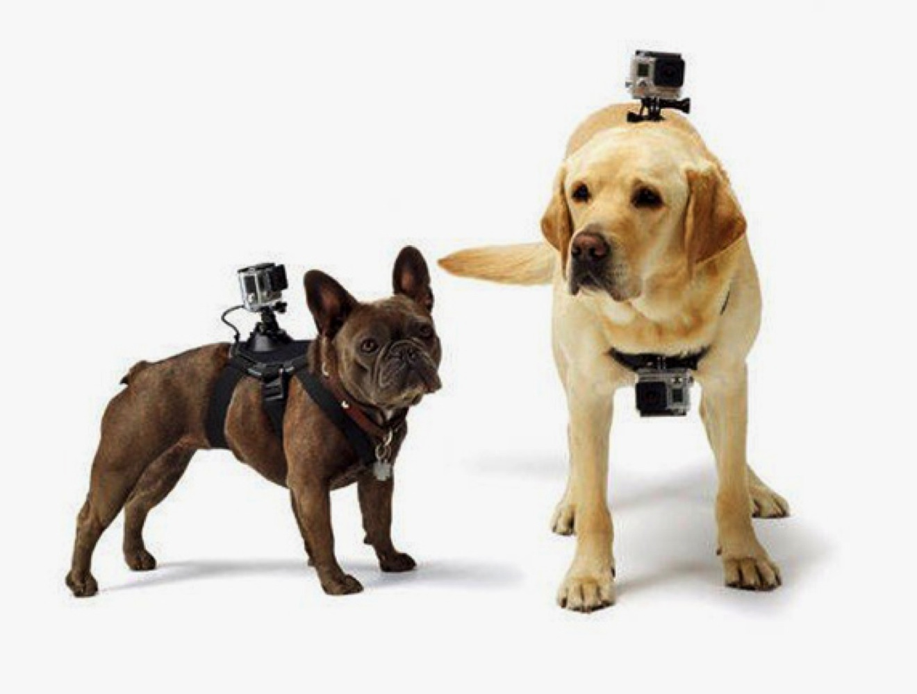 gopro fetch le dernier harnais cam ra pour chien yummypets. Black Bedroom Furniture Sets. Home Design Ideas