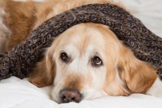 Le diabète chez le chien : causes, symptômes et traitements