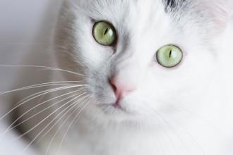 Les différents types de maladies touchant les yeux du chat