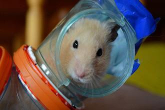 Comment bien préparer l'arrivée du hamster à la maison ?