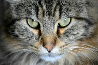 Quels vaccins pour chat ?