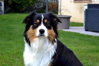 Know your breeds: the Australian Shepherd