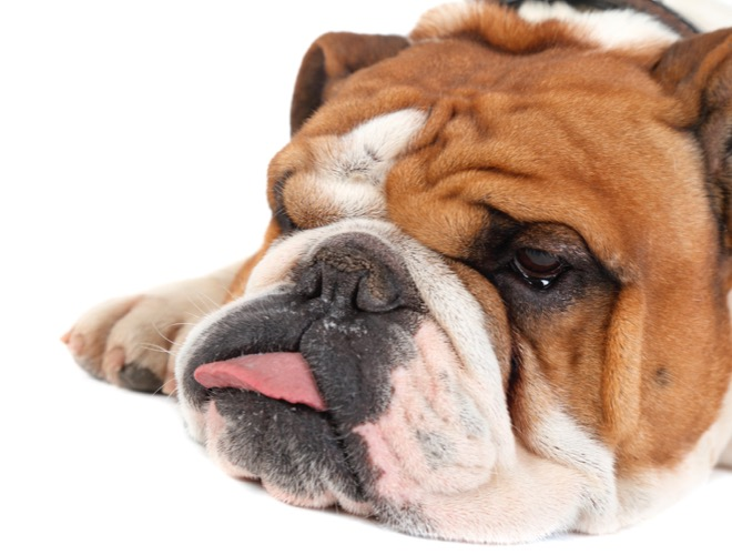Bien connu Comment bien choisir son Bulldog anglais ? - Yummypets OH18