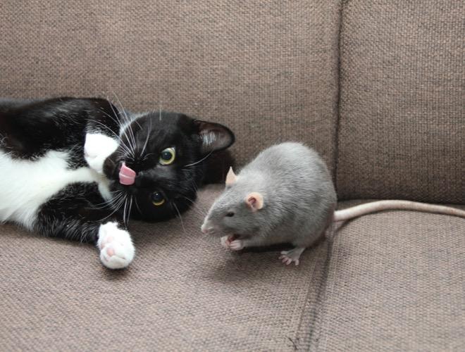 Comment faire cohabiter un chat et un rongeur yummypets - Comment se debarrasser d une souris ...