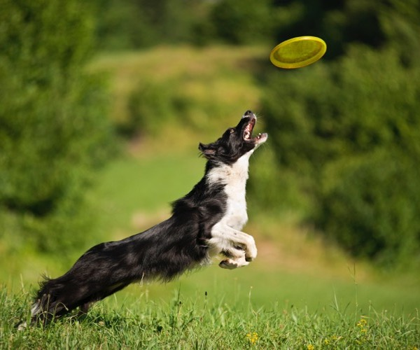 Frisbee dog: the dog sport that is making a comeback