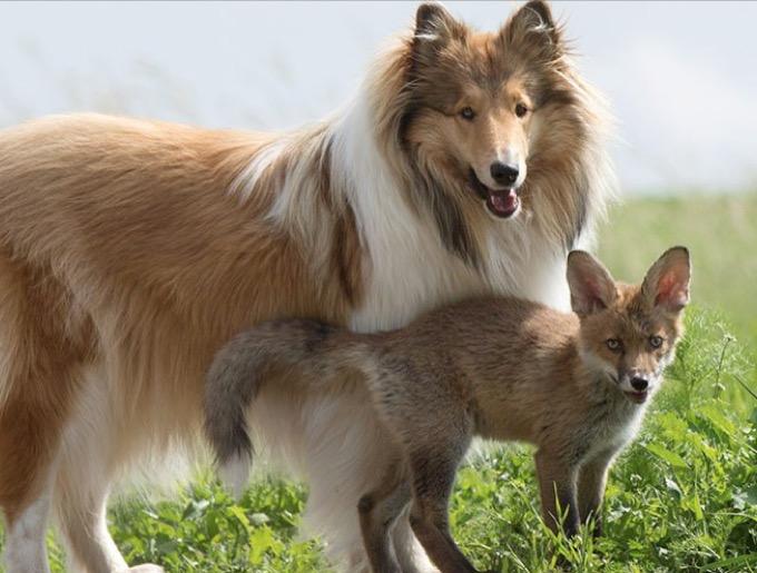 chienne colley renardeau famille
