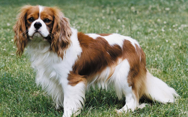 Know your breeds the king charles cavalier spaniel yummypets the cavalier king charles spaniel is a wonderful pet to have they are one of the largest of the toy breeds and are generally very friendly dogs altavistaventures Image collections