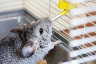 Everything you need to know about the domestic Chinchilla