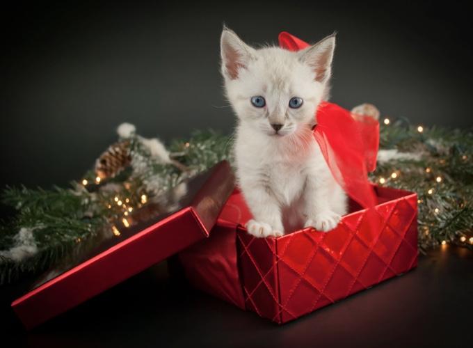 Offrir un chat pour no l c est pour toute la vie yummypets - Image de chat de noel ...