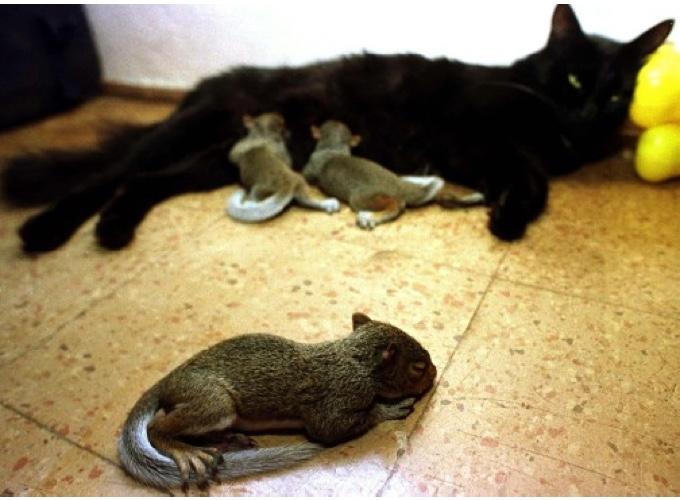 une chatte adopte des b b s cureuils yummypets. Black Bedroom Furniture Sets. Home Design Ideas
