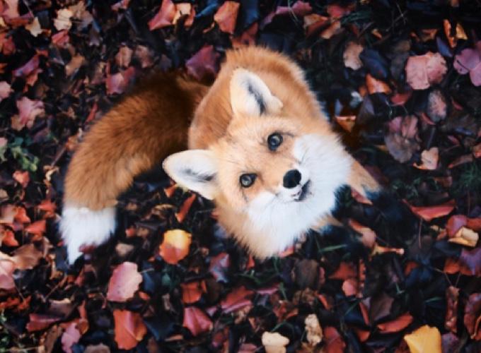 Populaire Juniper, le renard de compagnie ! - Yummypets RZ94