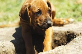 Pourquoi mon chien creuse des trous?