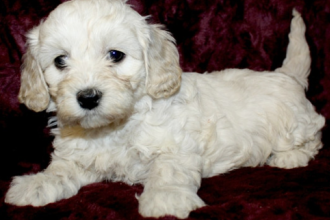 Meet the Cavapoochon: the dog that…