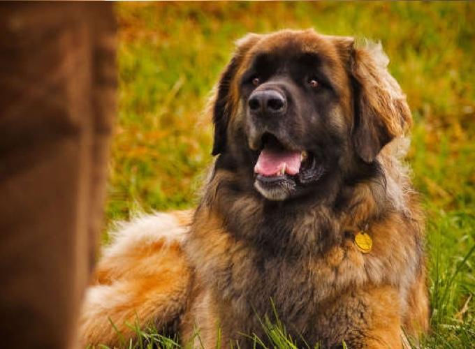Häufig Les 10 races de chiens les plus grands - Yummypets CE67