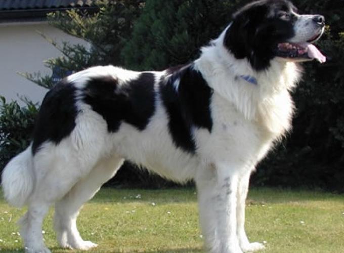 Les 10 races de chiens les plus grands - Yummypets