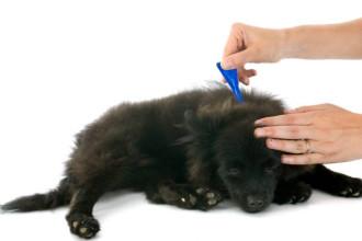 Prévenir les parasites du chien avant l'été