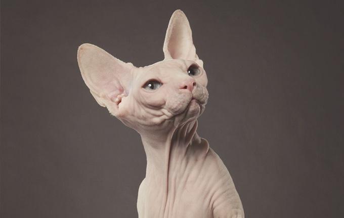 Les 3 races de chats sans poils yummypets - Gant pour poil de chat ...