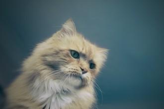 La Dysplasie de la hanche chez le chat