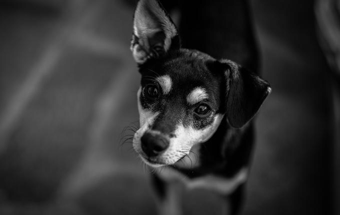 chien avec une oreille pliée