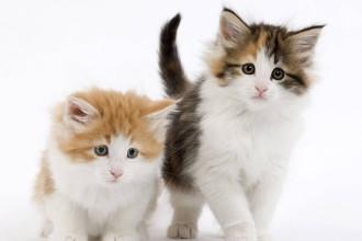 Le passeport pour chaton