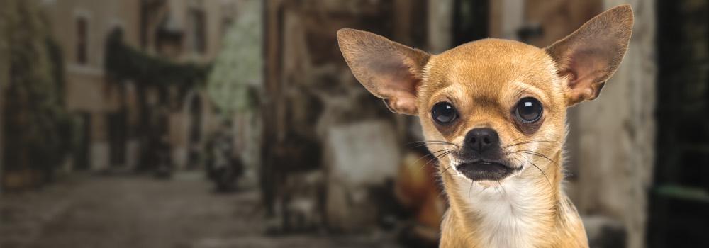 Chihuahua Yummypets