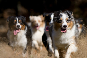 Conflits entre chien adulte et chiot