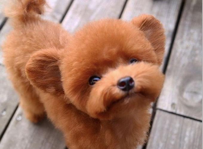 Très Rencontre avec Shu, le chien qui ressemble à un petit ourson  MR01