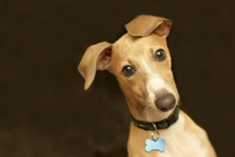 Pourquoi le chien penche la tête quand on lui parle ?