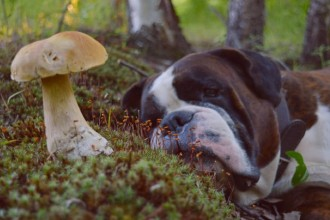 Intoxication chez le chien: gare aux champignons!