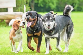 Pourquoi les chiens se reniflent entre eux?