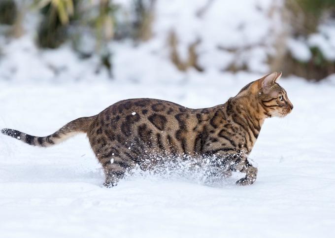 chat Bengal dans la neige