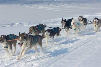 4 Sled dog breeds