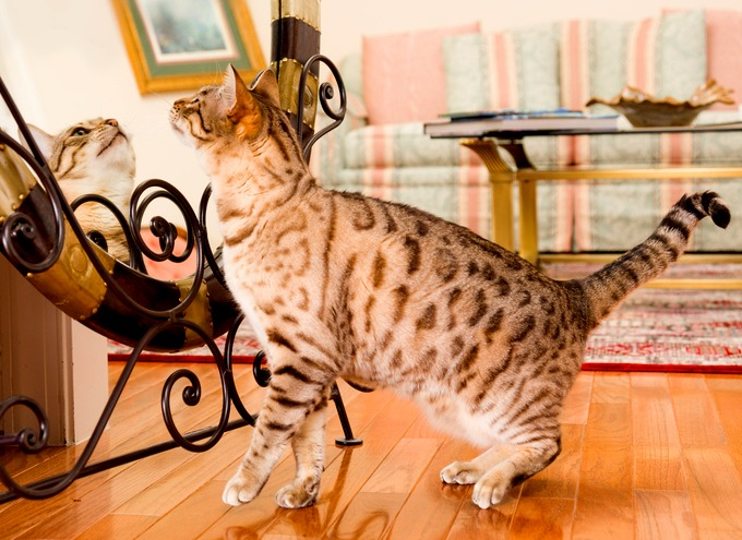 Bengal Cat Chat Room
