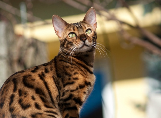 15 things you didn t know about the bengal cat yummypets